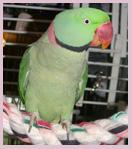 'Krys' Alexandrine Parakeet