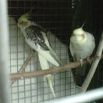 3 yr old pair of cockatiels - not breeding pair